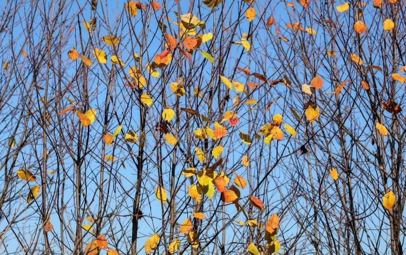 De de herfstboom vertakt zich met bijna geen bladeren, slechts weinig kleine kleurrijke verlaten stukken Abstracte dalingsachterg stock afbeelding