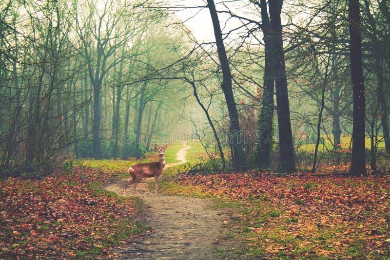 De herfstbos en een hert stock afbeelding