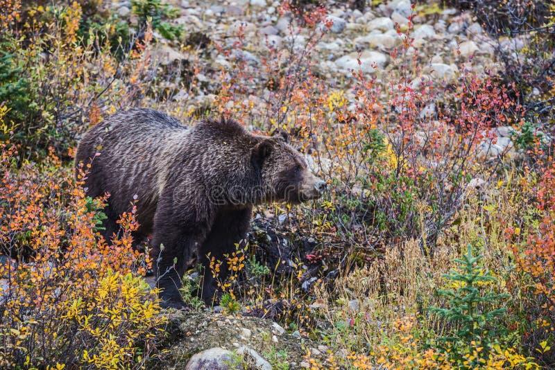 De herfstbos in Jasper National Park royalty-vrije stock foto's