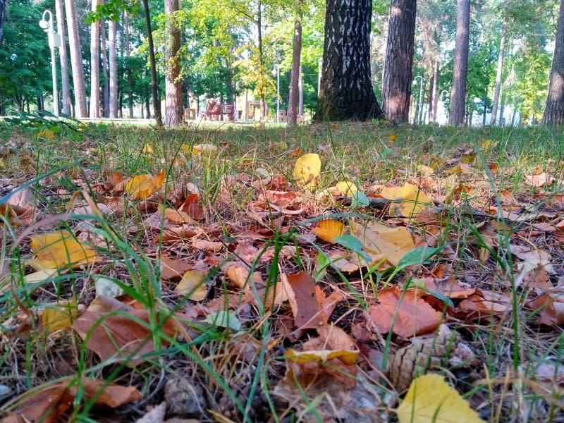De herfstbos met gevallen geelgroene bladeren op groene gras en bomen natuurlijke achtergrond van Rusland stock afbeeldingen