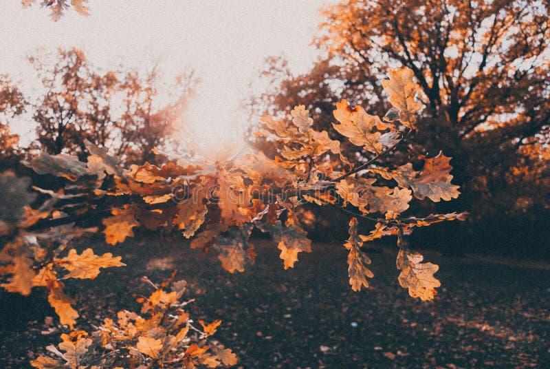 De herfsteik stock afbeelding