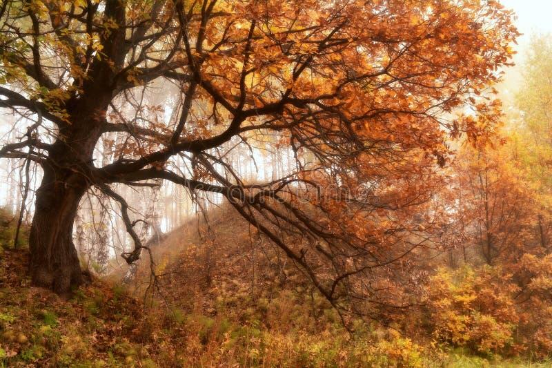 De herfsteik op de helling stock fotografie