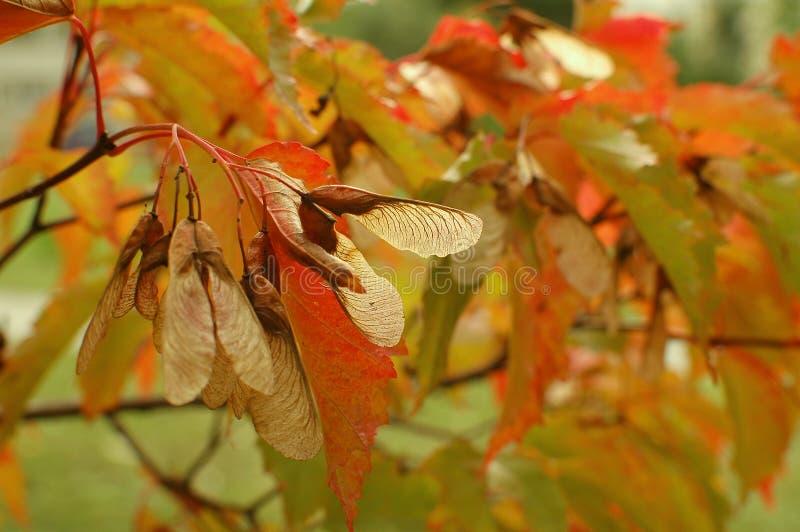 De herfstesdoorn stock afbeeldingen