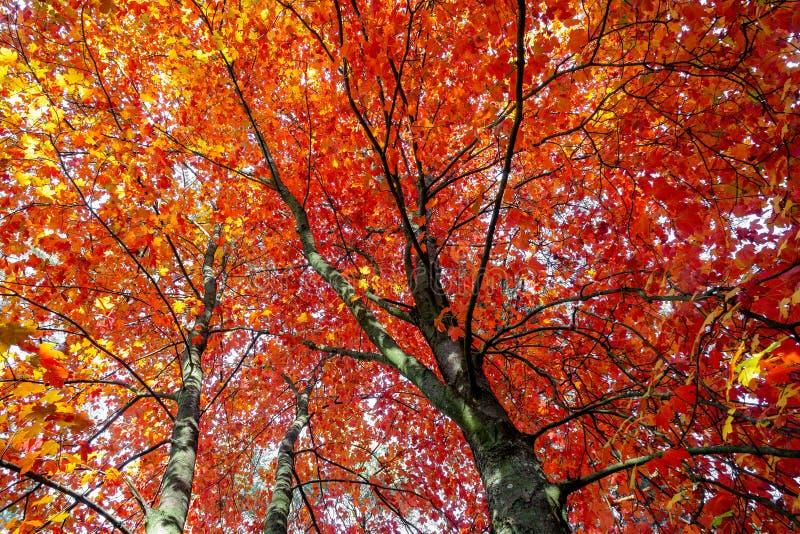 De herfstesdoorn in helder rood gebladerte royalty-vrije stock afbeeldingen