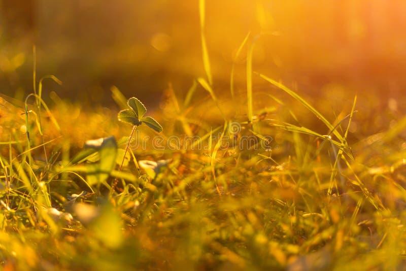 De herfstgras in zonsondergangzonlicht Groene geeloranje abstracte aard vage achtergrond Macro, bokeh royalty-vrije stock foto's