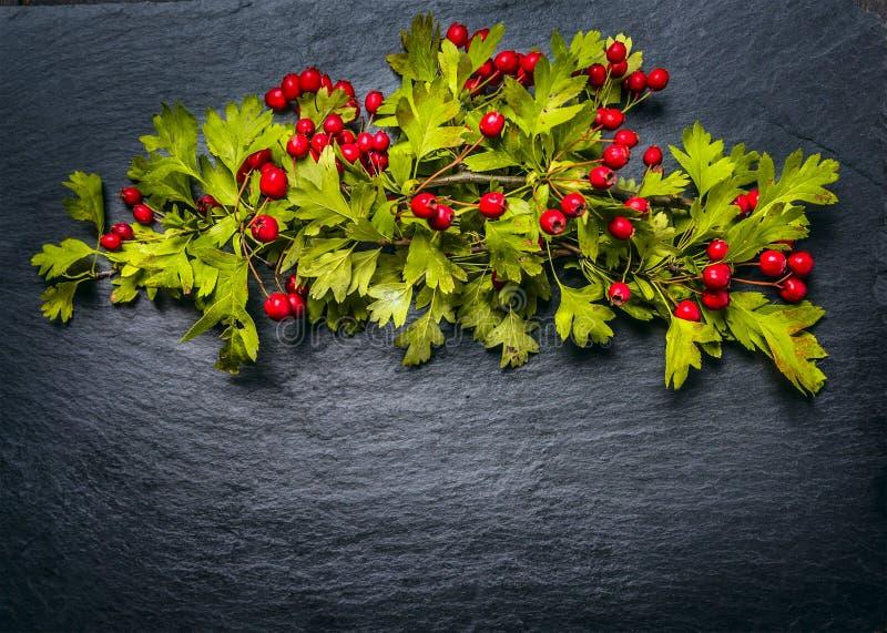 De herfsthaagdoorn met rode hagedoornbessen op donkere leiachtergrond stock afbeelding