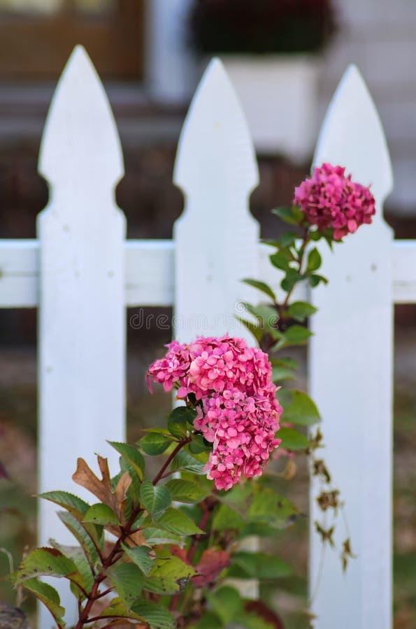 De herfsthydrangea hortensia voor vage witte piketomheining - selectieve nadruk royalty-vrije stock foto's