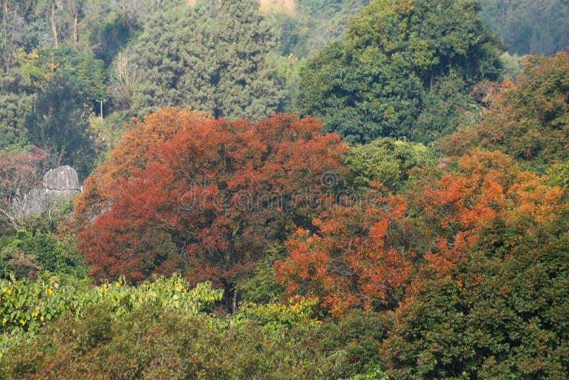 De herfstkleuren in het Steen Boslandschap in Yunnan, China stock foto's