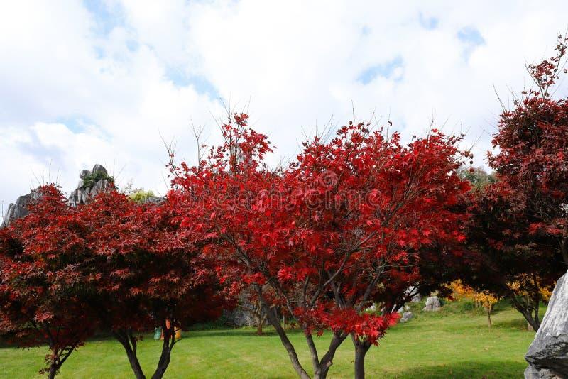 De herfstkleuren in het Steen Boslandschap in Yunnan, China stock afbeeldingen