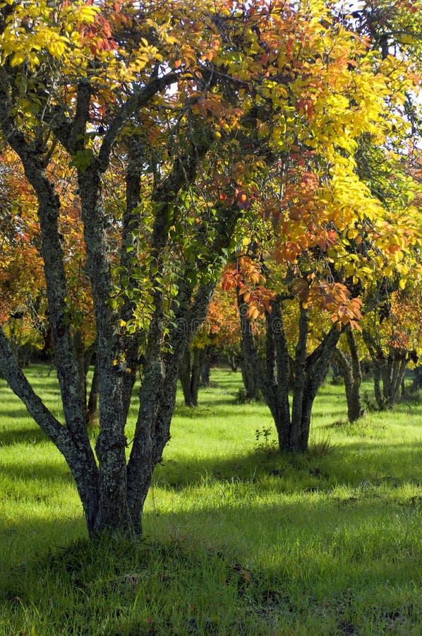 De de herfstkleuren verfraaien een boomgaard van perenbomen stock foto's