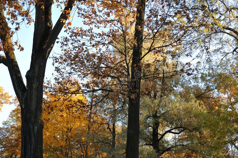 De herfstkronen van bomen met gevallen bladeren royalty-vrije stock afbeelding