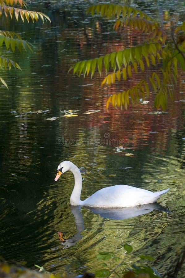 De herfstlandschap met een zwaan royalty-vrije stock afbeelding