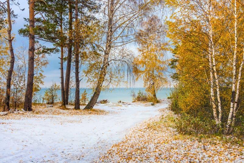 De herfstlandschap met gele berken en sneeuw Siberië, coas royalty-vrije stock afbeeldingen