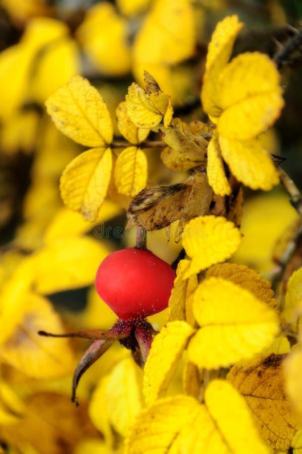 De herfstlandschap met rozebottelbes stock foto's