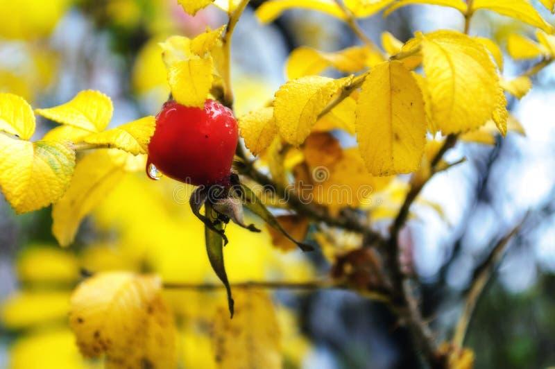 De herfstlandschap met rozebottelbes royalty-vrije stock fotografie