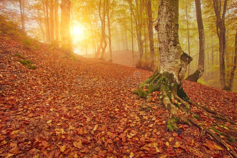 De herfstlandschap in mistig hout stock afbeeldingen