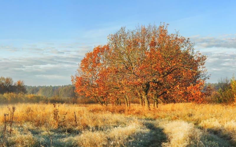 De herfstlandschap van aard in de duidelijke ochtend van oktober De boom met rode bladeren op weide behandelde geel gras op helde stock afbeelding