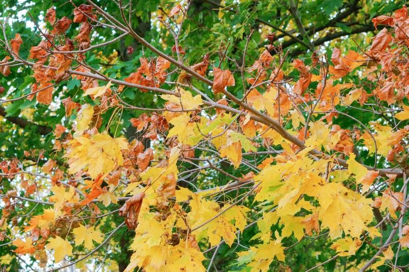 De herfstlandschap, vergeelde en rood geworden bladeren van bomen royalty-vrije stock foto