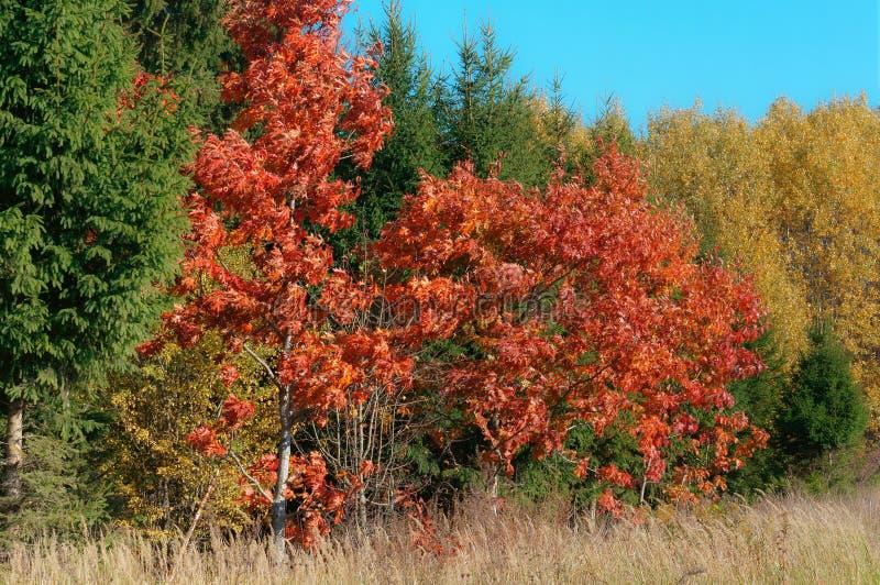 De herfstlandschap, vergeelde en rood geworden bladeren van bomen stock afbeeldingen