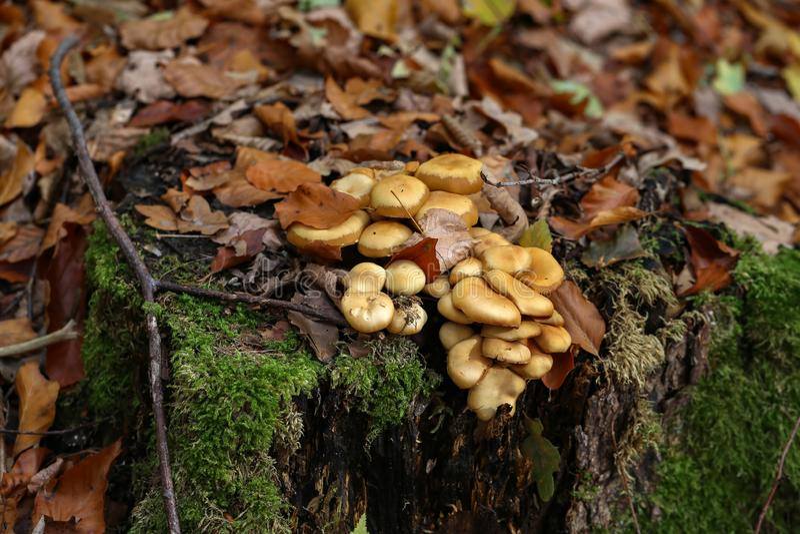 De de herfstpaddestoelen groeien op een oude boomstomp in het bos royalty-vrije stock afbeeldingen