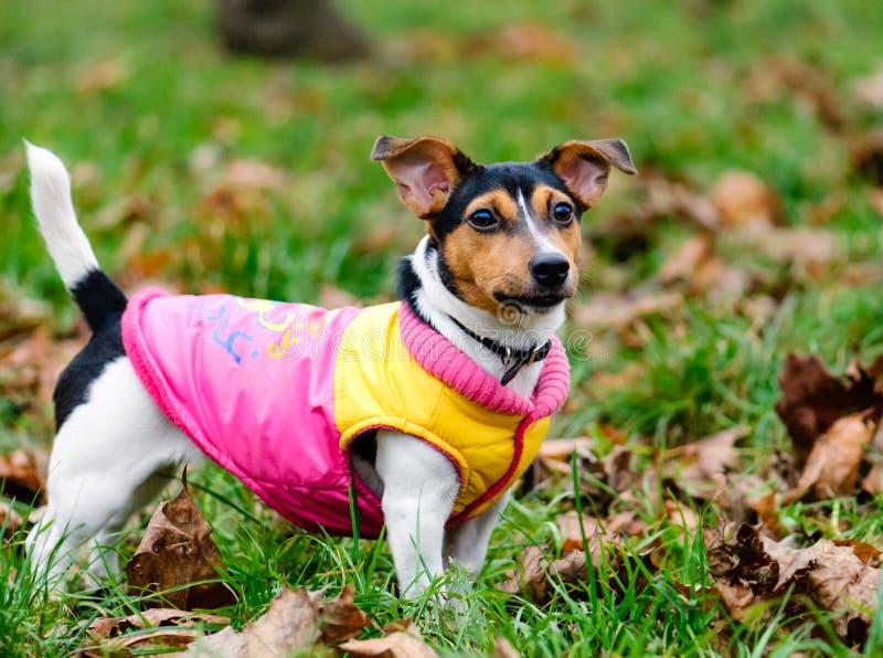 De herfstportret van kleine hond die een laag dragen royalty-vrije stock foto's
