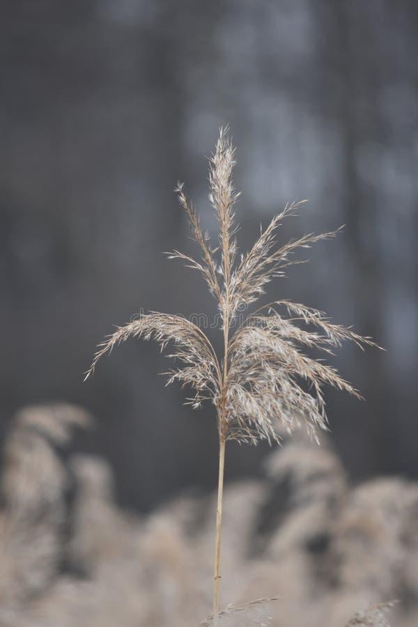 De herfstriet in de wind stock afbeelding