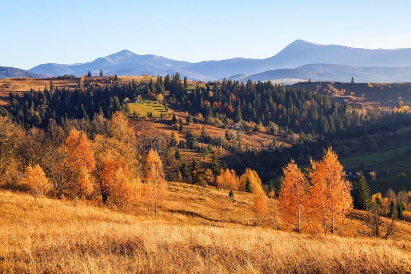De herfstsc?ne in de zonnige dag Bij het hooggebergte met dicht bos zijn er aardige sinaasappel gekleurde bomen op het grote gazo royalty-vrije stock afbeelding
