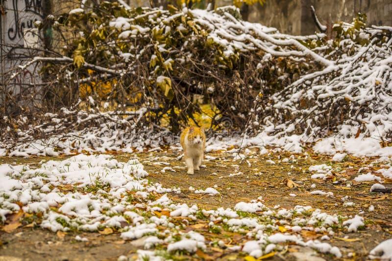 De herfstsneeuw en gemberkat stock foto