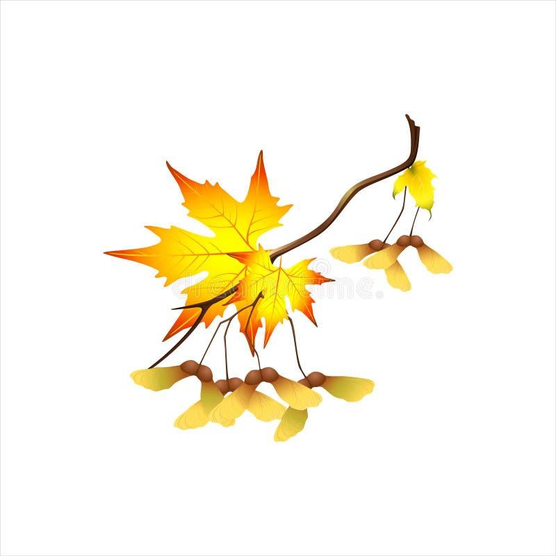 De herfsttak met esdoornvruchten stock fotografie