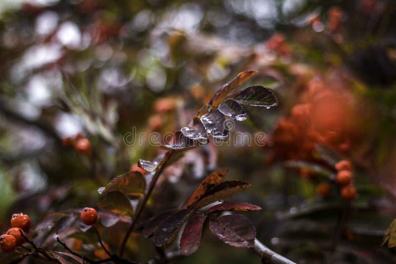 De herfsttak van een lijsterbes met een daling stock afbeeldingen