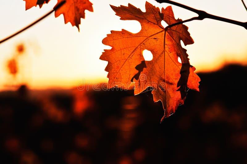 De herfsttransparantie in de bladeren van de wijnstok stock foto's