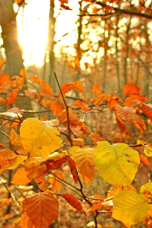 De herfstzonsopgang in het bos stock afbeelding