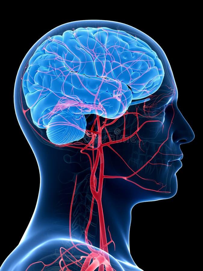 De hersenen en de hoofdslagaders royalty-vrije illustratie