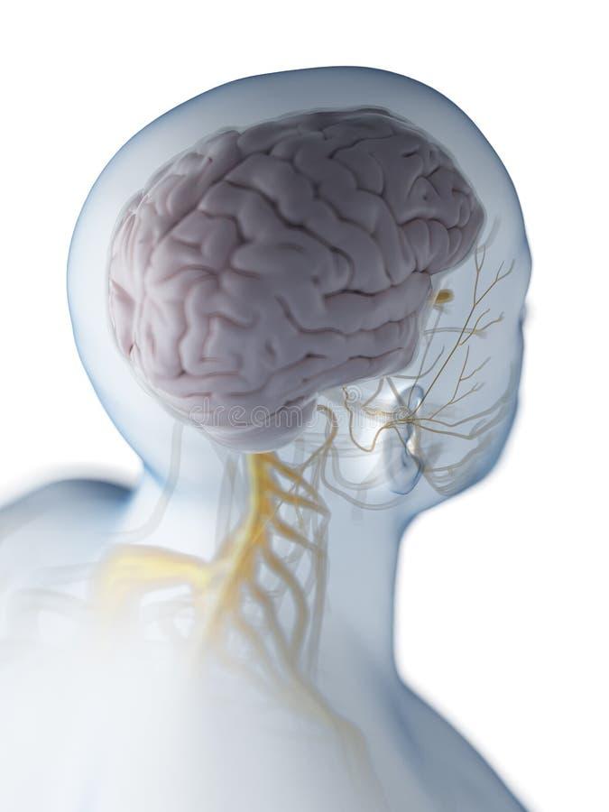 De hersenen en het zenuwstelsel vector illustratie