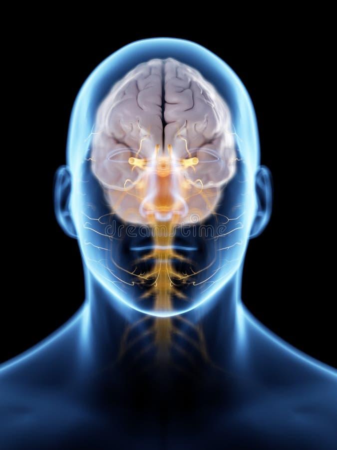 De hersenen en het zenuwstelsel royalty-vrije illustratie