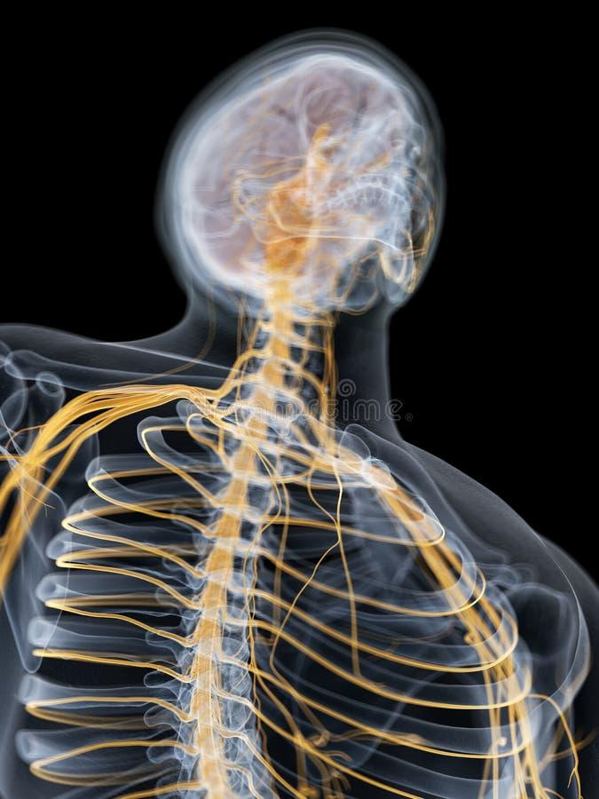 De hersenen en het zenuwstelsel stock illustratie