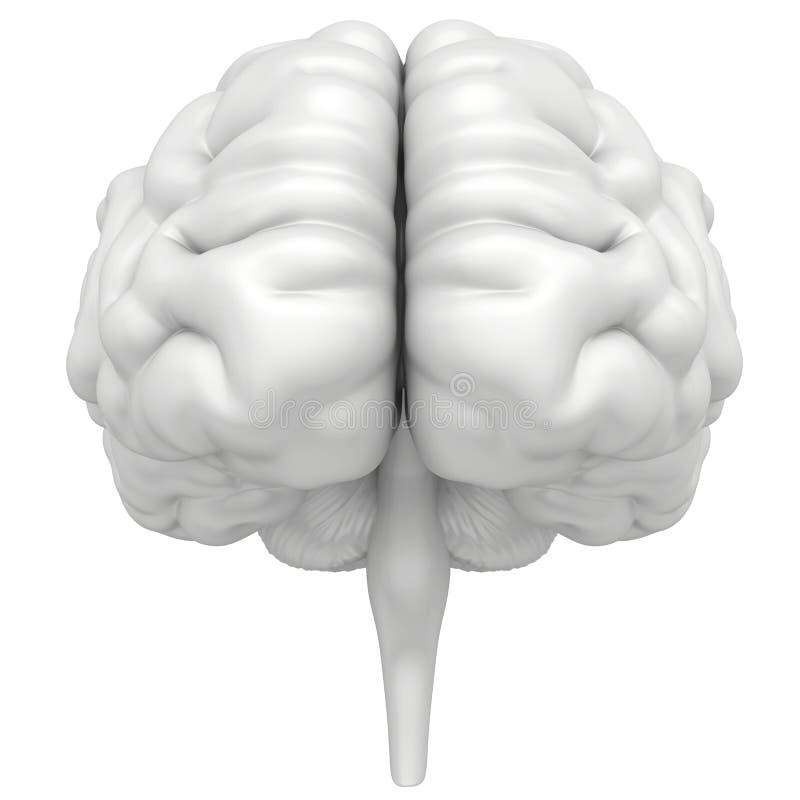De hersenen zijn een close-up op witte achtergrond wordt geïsoleerd die stock illustratie