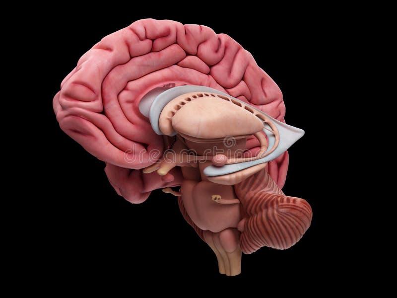 De hersenenanatomie stock illustratie