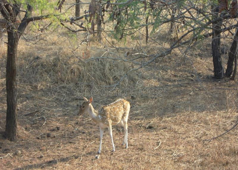 De herten bij girbos van Gujarat in India royalty-vrije stock afbeelding