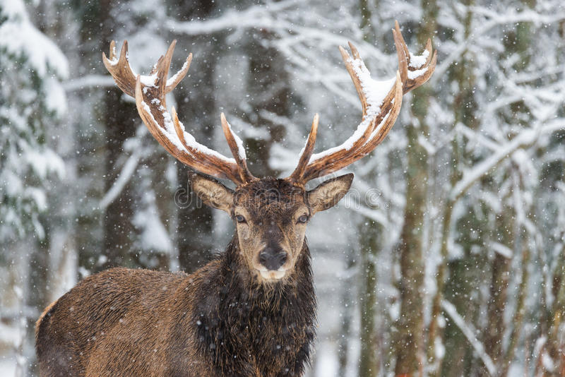 De herten met Groot vertakten zich Hoornen op de Achtergrond van Snow-Covered Forest Beautiful Stag Close-Up, Artistieke Mening T royalty-vrije stock afbeelding