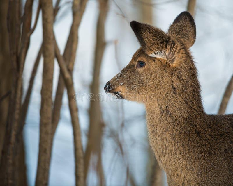 De herten van de winter royalty-vrije stock afbeeldingen