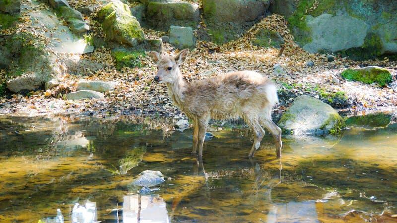 De herten van Nara royalty-vrije stock afbeelding