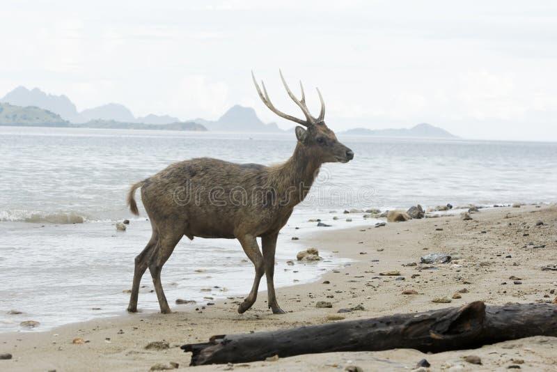 De herten van Timor of Rusa-, Cervus-timorensis royalty-vrije stock fotografie