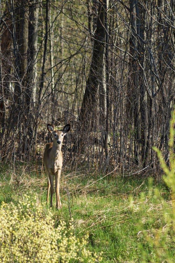 De herten van Virginia in bos royalty-vrije stock afbeeldingen