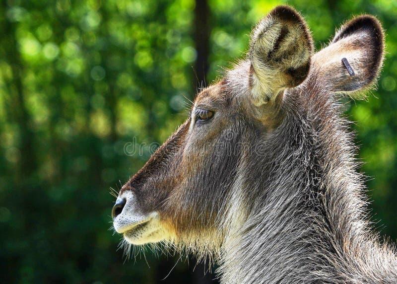 De herten zien dicht omhoog onder ogen stock fotografie