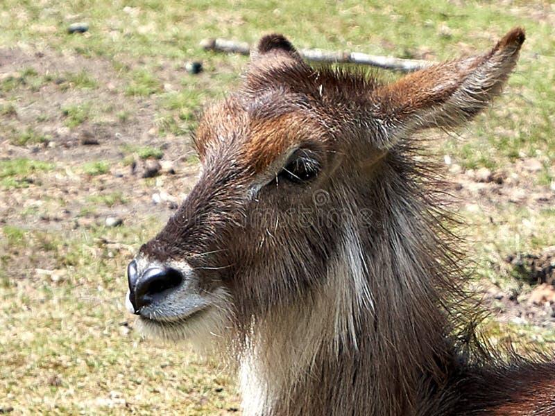 De herten zien dicht omhoog onder ogen royalty-vrije stock foto's