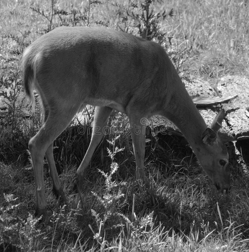 De herten zijn de herkauwerszoogdieren vormt de familie Cervidae stock foto
