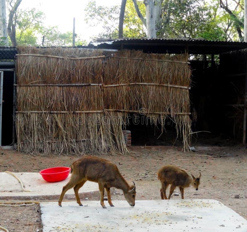 De herten zijn de hoofed herkauwerszoogdieren vormt de familie Cervidae stock foto