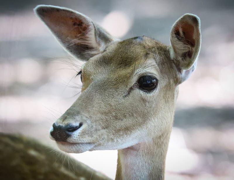 De herten zijn de hoofed herkauwerszoogdieren vormt de familie Cervidae royalty-vrije stock fotografie