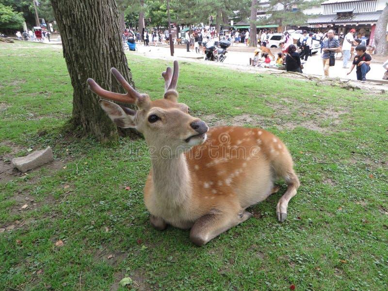 De hertenpark van Nara stock afbeelding